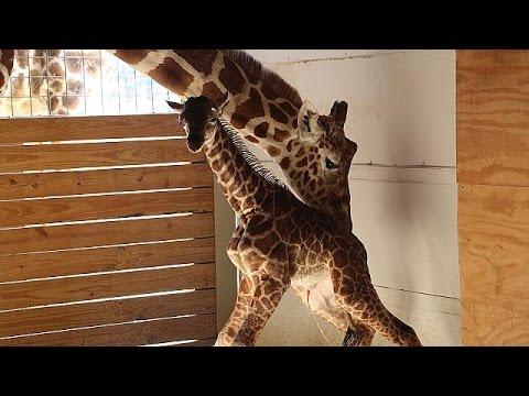 Thumbnail: April the giraffe, mother and internet star
