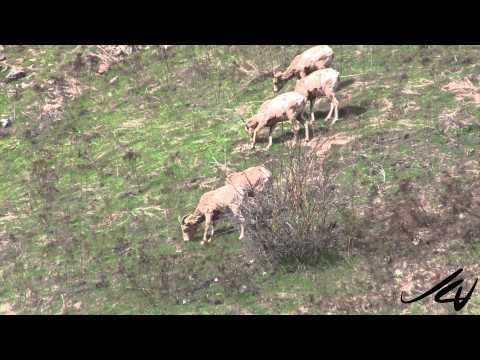 California Bighorn Sheep close to the road in Grand Forks BC  - YouTube