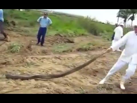 Tarlada görülen dev yılan köylüleri şaşırttı