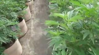 Gambar cover Grow Marijuana: Many Marijuana Strains in Light Dep Greenhouses
