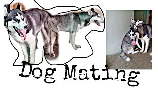 Dog Mating || Pure Siberian Husky || Semi Wooly | Dow muñoz Official