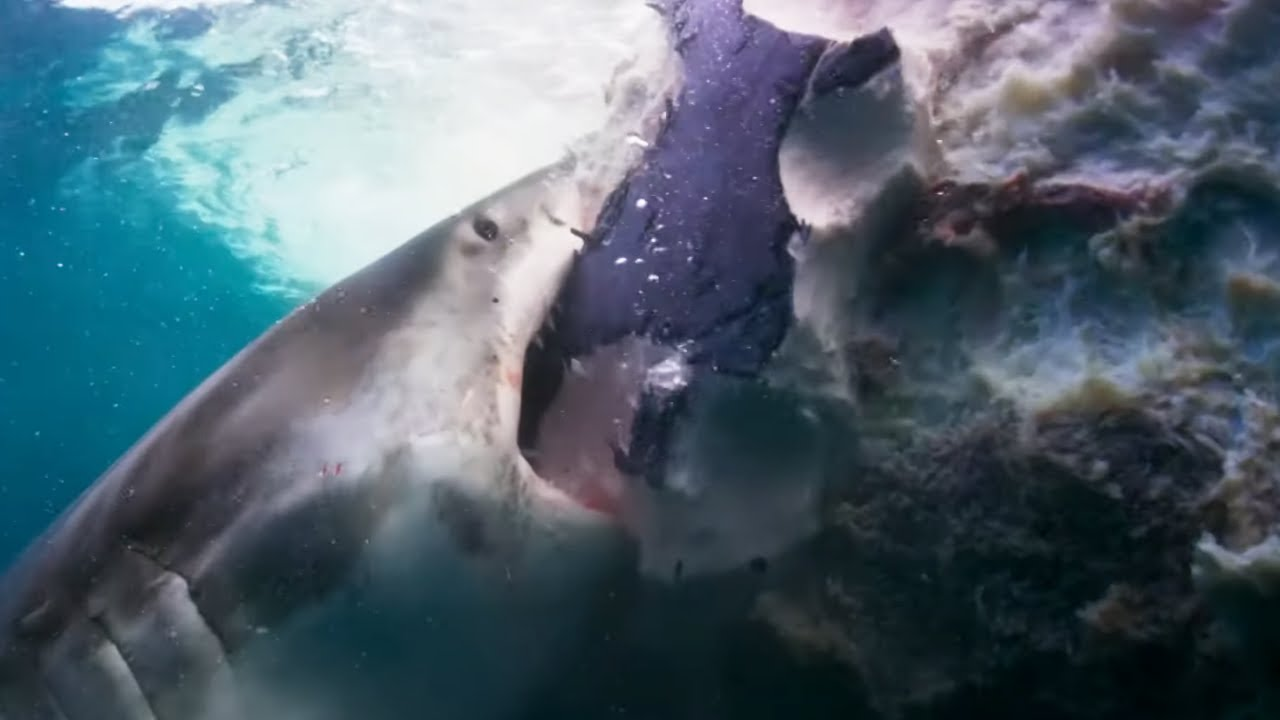 Sharks Feast On Whale | Blue Planet II | BBC Earth