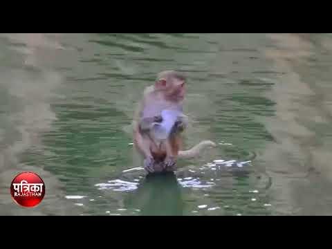 जयपुर की मंकी वैली में नहीं देखी होगी बंदरों की ऐसी अटखेलियां, देखें वीडियो
