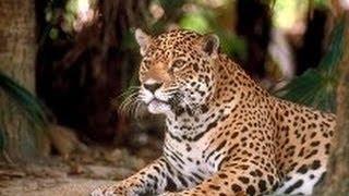 Большие кошки. Леопарды. Дикие хищники. Документальный фильм.