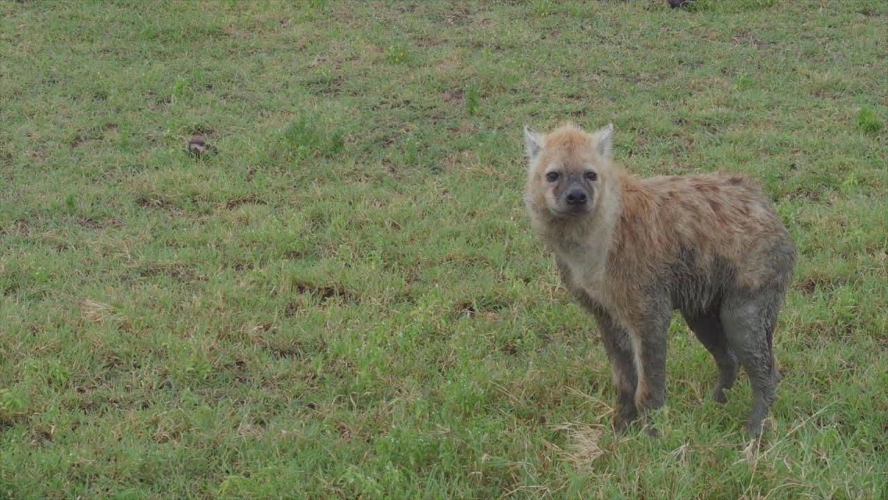 GMA' on Safari Showcases Majestic Animals in Their Habitat - YouTube