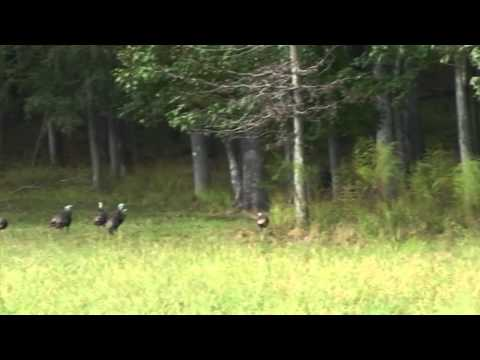 Fall Turkey Scouting Tips