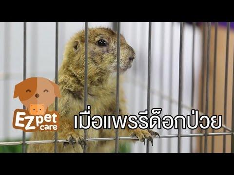 EZ pet care [by Mahidol] เมื่อแพรรีด็อกมีอาการป่วย