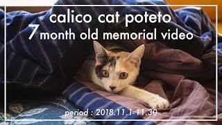 猫 #ぽてと #三毛猫ぽてと #cat 生後7ヶ月になったぽてとの様子をまとめ...