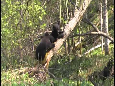 медвежий детский сад в тайге.m2p
