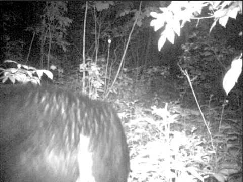 Bear near Bagley, mn