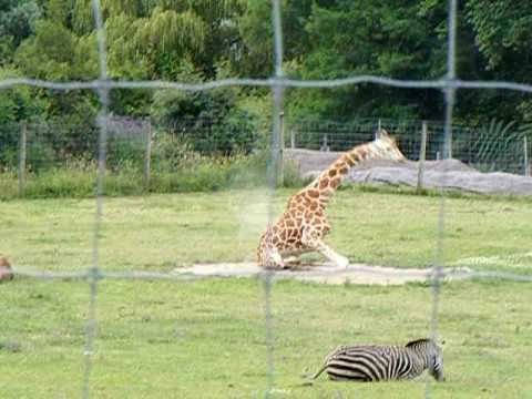 How does a giraffe stand up with those long legs in the way?
