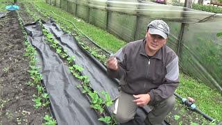 Выращиваете клубнику? Сделайте с ней ТАК (!!!) и забудьте про прополки!!!