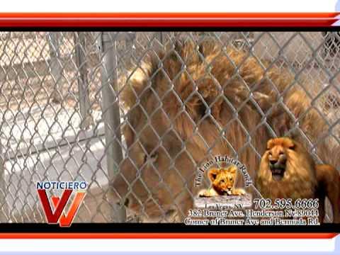 Lion habitat ranch henderson nv youtube