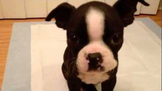 Day 5 Of Having Our Boston Terrier Puppy, Nala