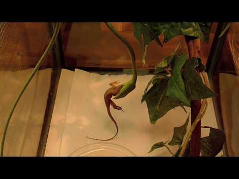 Vine Snake Eating Anole