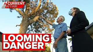 Towering tree could drop branches any moment | A Current Affair