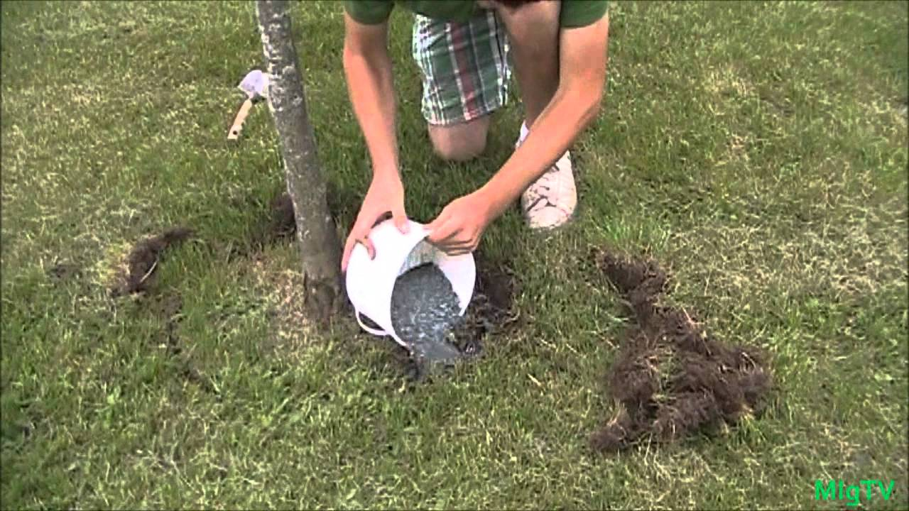 How To Fertilize An Elished Plant Or Tree