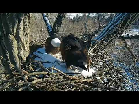 Decorah Eagles Dad got chased , Mom to the rescue 01 01 2018