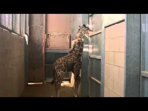 San Diego Zoo Baby Giraffe Growing Up thumbnail