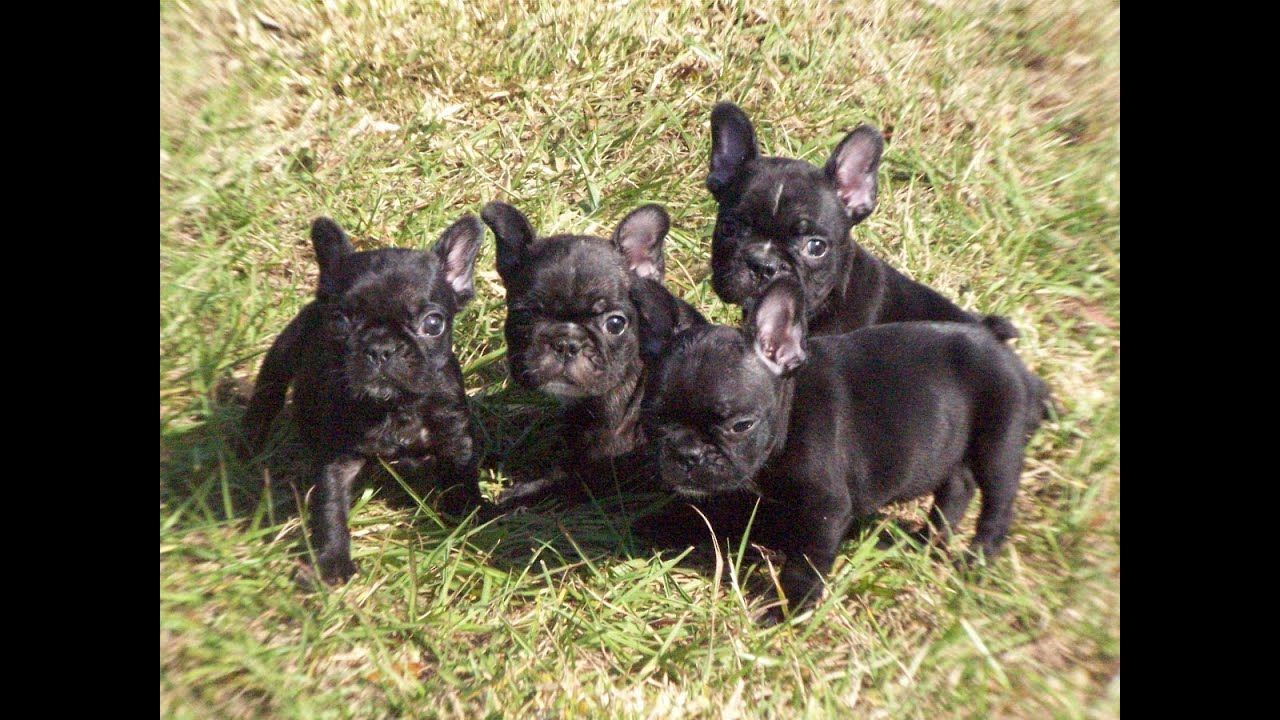 French Bulldog, Frenchie, Puppies, Dogs, For Sale, In ...
