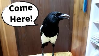 This Talking magpie is Amazing!