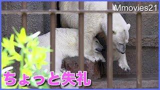 Polar Bears,Lara (female/22),Lila (female/2)、Denali(male/23). 円...