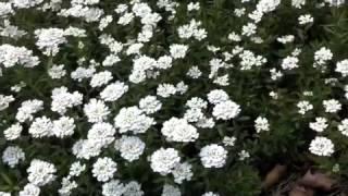 Iberis sempervirens -  Evergreen Candytuft