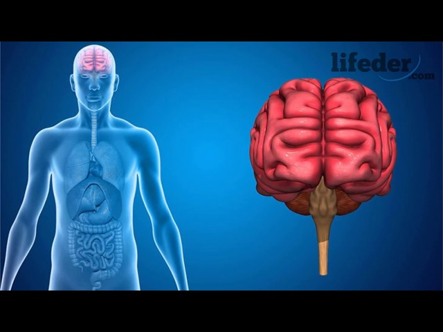 Sistema Nervioso Autónomo: Anatomía, Funciones y Trastornos - Lifeder