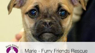 Marie (pug/chihuahua) - Furry Friends Rescue