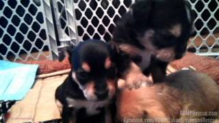 Terrier Mix Puppies Playing - Chicago Il - Romp Italian Greyhound Rescue