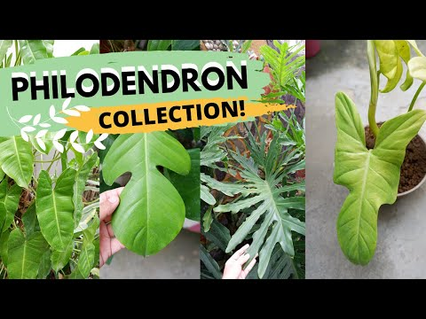 huge-philodendron-collection!!-|-plant-collection-series-(philippines)-|-plants-galore-ph