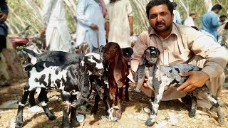 Top Quality Baby Goats For Sale - Beetal Aur Nagra Bakriyan K Bachay In Sahiwal