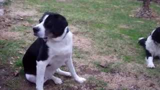 English Springer Spaniel: Maessr Presents Daisy Mae & Daughter Shelby 6