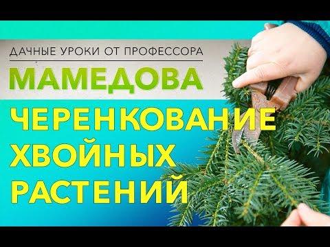 Вопрос: Как размножаются хвойные растения?