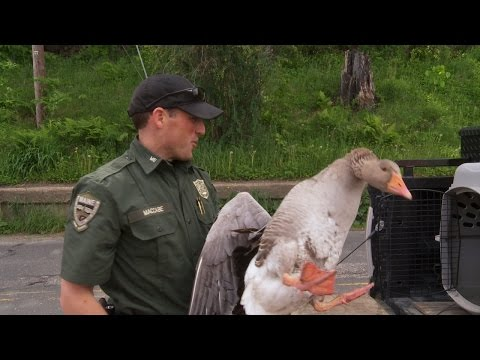 Game Warden Captures Sassy Domestic Goose