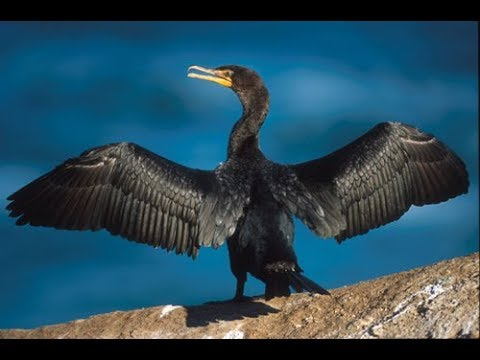 Dispelling the Myths, Cormorants in the Great Lakes Basin