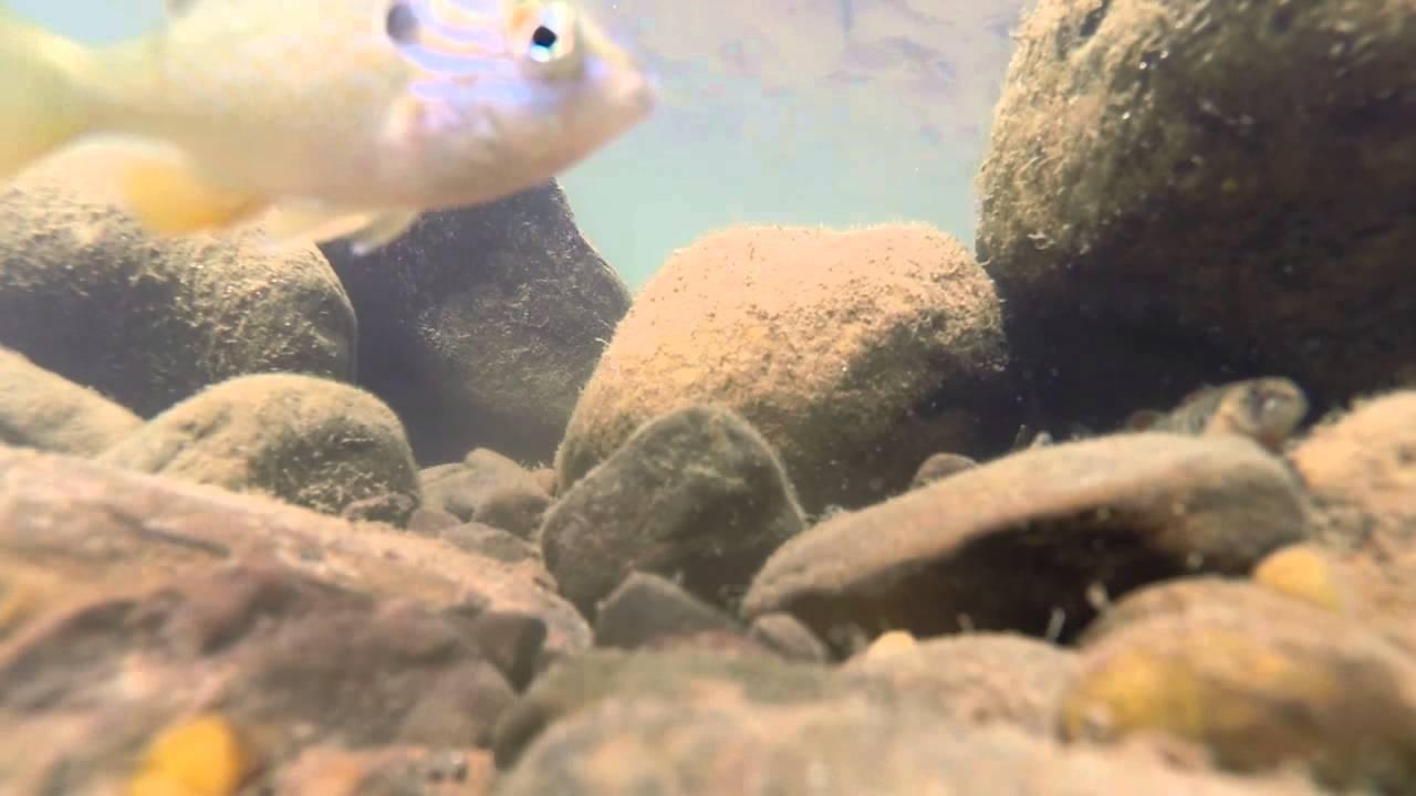 Darters of Arkansas - Underwater Video
