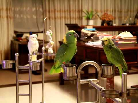 Parrot Singing Chinese Song 妹妹坐船头 Youtube