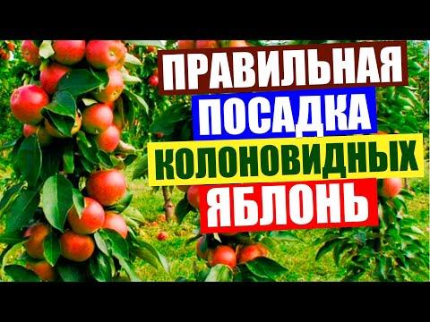 Колоновидная яблоня. Правильная посадка колоновидных яблонь и колоновидных груш.
