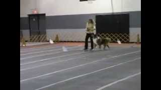 Rough Collie Scores 99 In Akc Rally Novice Obedience