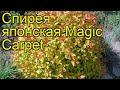 Спирея японская Волшебный ковер. Краткий обзор, описание характеристик spiraea japonica Magic Carpet