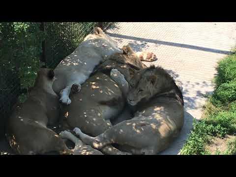Как посетители пытались разбудить ребят из юного прайда) How visitors tried to wake up lions)