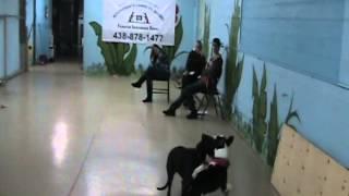 Présentation De Spicky Et Kellie - 2 Jeunes Bull Terrier Croisé