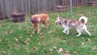 Siberian Husky And Golden Retriever Playing Outside