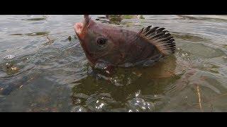Рыбалка в Южной Америке.Бешеный клёв.