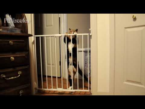 Funny Cat Videos 🐱 Hilarious Cats Vs Gates Compilation 2019