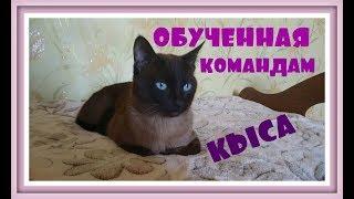 ДРЕССИРОВКА КОШЕК Дрессированный домашний тайский кот ДРЕССИРОВКА ВИДЕО Кот открывает дверь