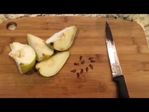 How To Grow Pear Trees From Seed, Days 0-34