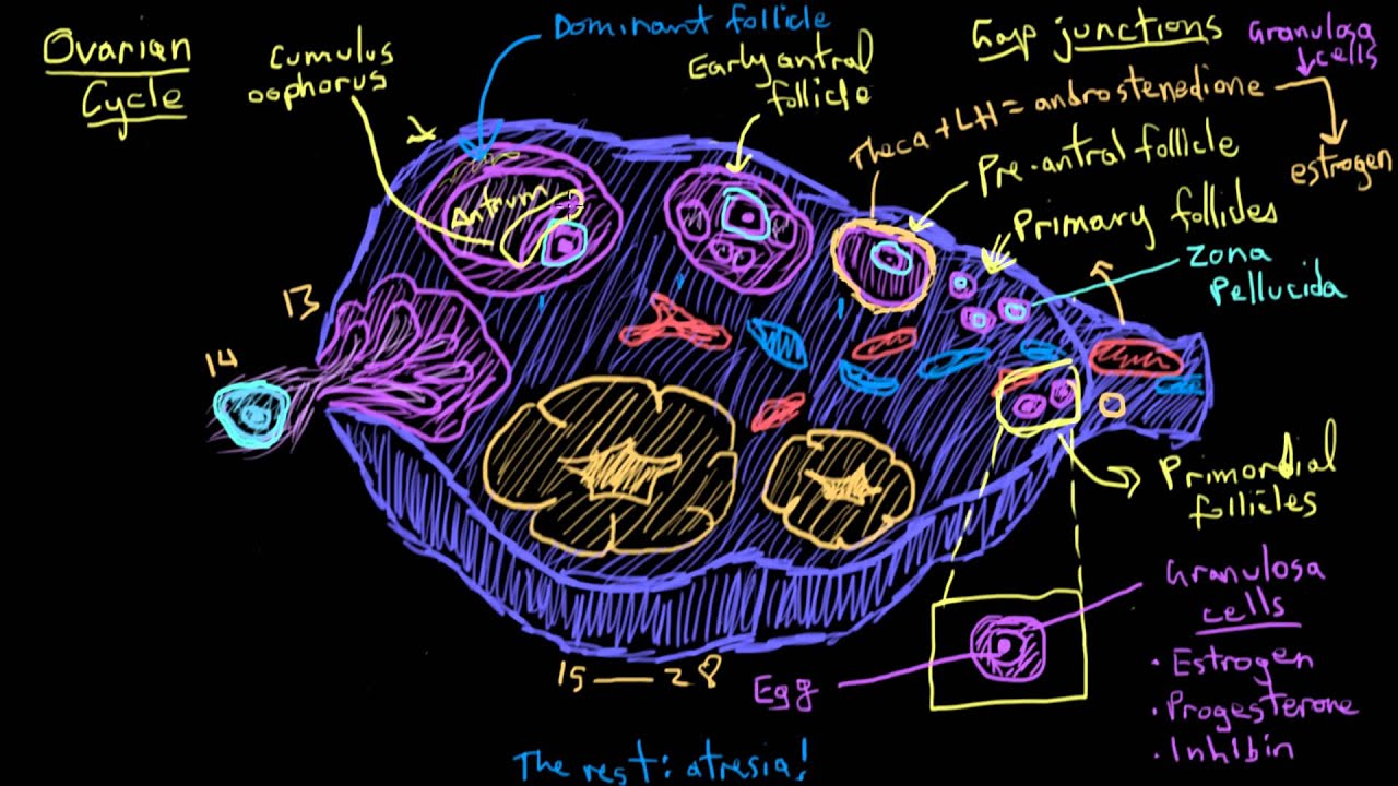 Khan Academy The Ovarian Cycle