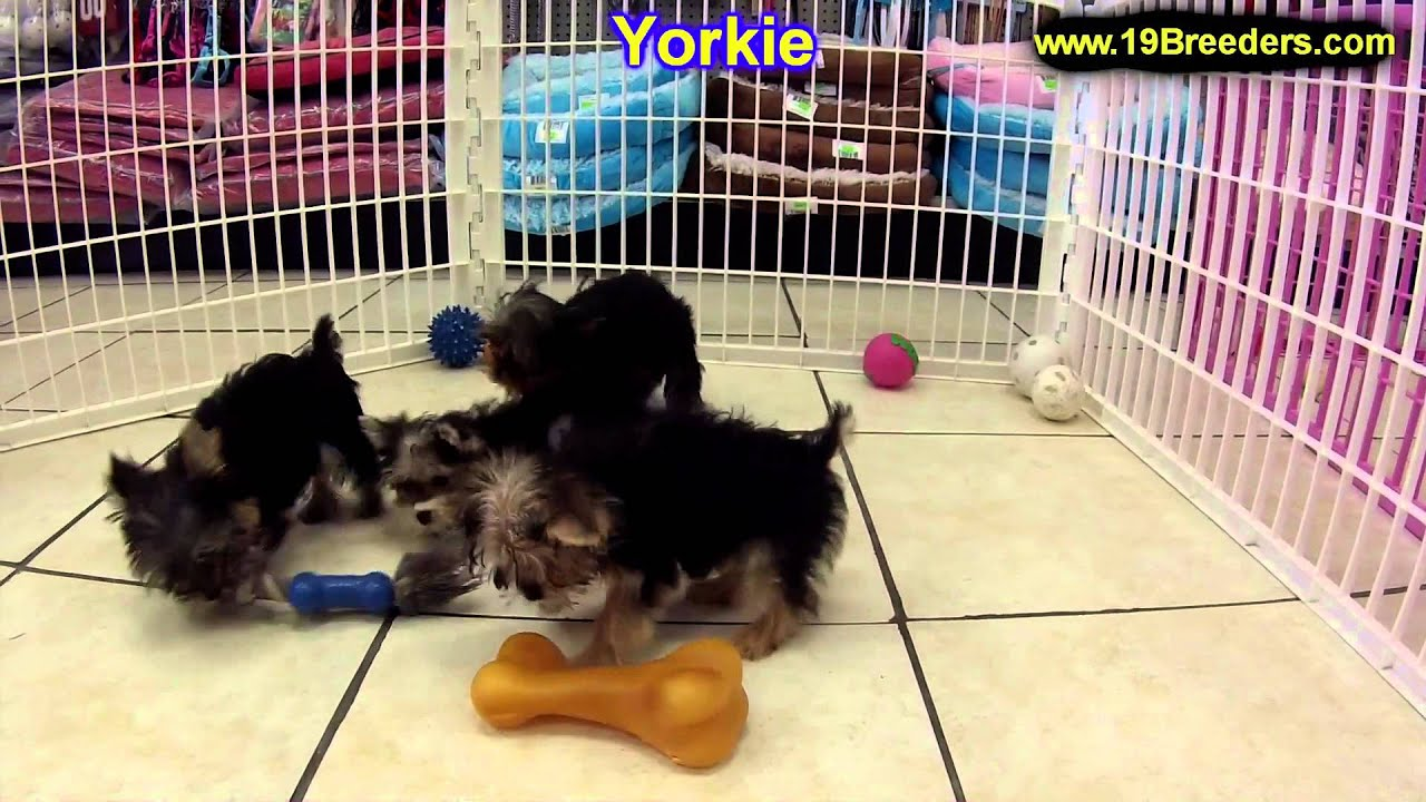 Yorkshire Terrier Puppies For Sale In Sao Paulo Brazil States